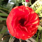 In many ways this poppy is also an oxymoron.